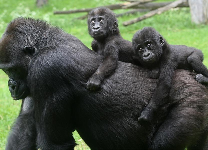 Bekijk de gorilla's in hun eigen leefomgeving in Burgers Zoo.