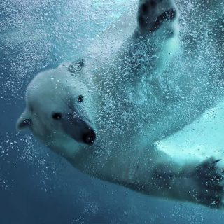 Ze zien er zo schttig uit, de ijsberen in Wildlands Emmen