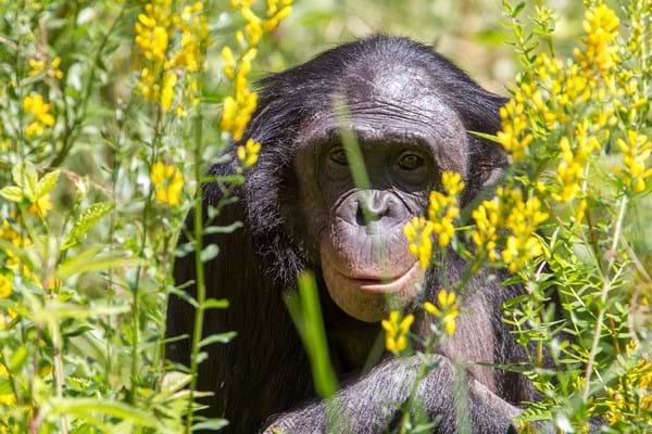 Wie is de ondeugendste aap in de Apenheul?