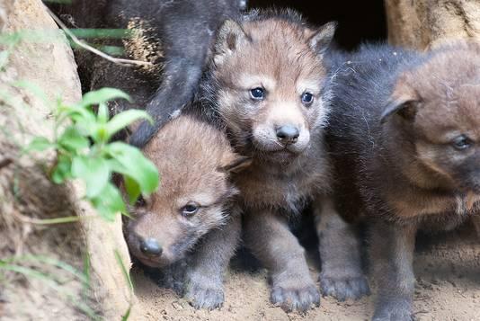 Jonge wolven in Dierenpark Amersfoort.