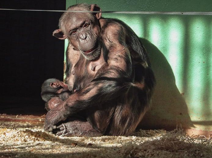 Jonge aapjes in dierenpark Amersfoort.