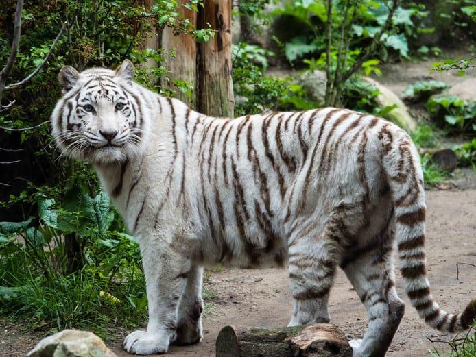 De witte tijger in dierenpark Amersfoort.