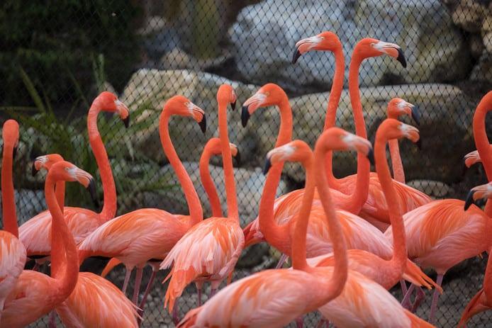 de grootste flamingo kolonie in GaiaZOO
