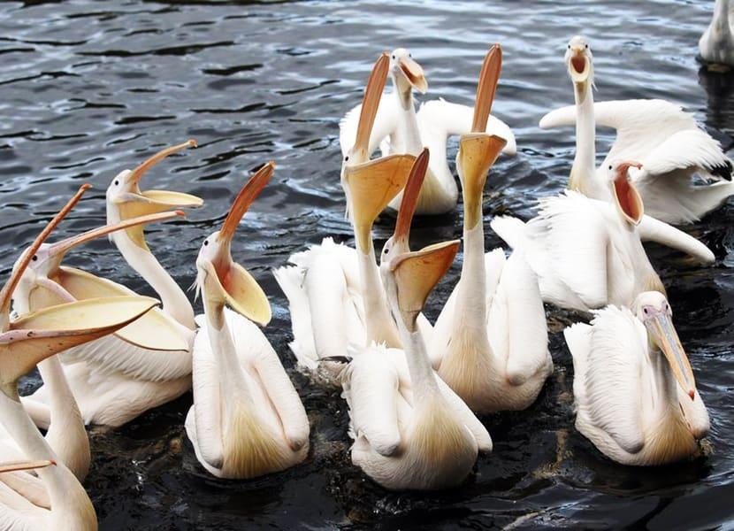 Pelikanen in Vogelpark Avifauna